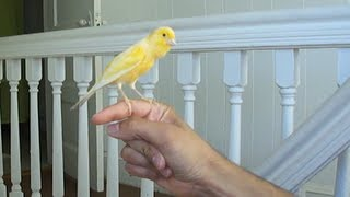 Canary singing on my hand
