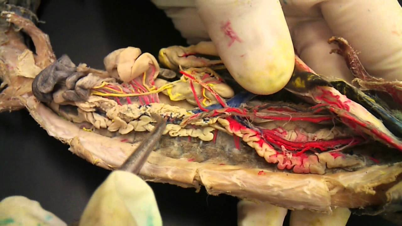 Mudpuppy Circulatory