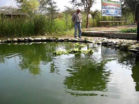 Criadero de tilapias en sjm ica youtube for Como criar mojarras