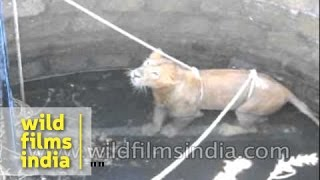 Endangered Asiatic Lion rescued from well in India