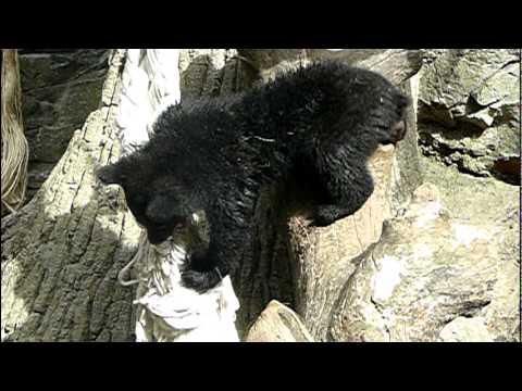 上野動物園のニホンツキノワグマの赤ちゃん。Baby Japanese black bear.#01