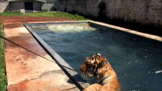 Day tiger, walking and swimming - Dia do tigre, passeando e nadando