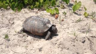 Cool tortoise on Amelia Island, Florida
