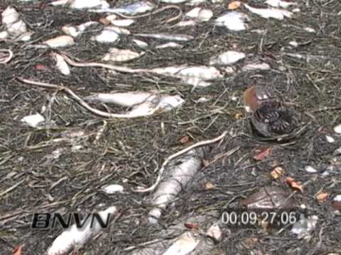 6/18/2005 Red Tide Fish Kill Footage, Sarasota Bay Florida