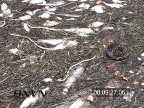6/18/2005 Red Tide Fish Kill Footage, Sarasota Bay Florida