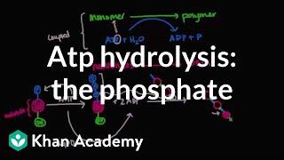 ATP hydrolysis: Transfer of a phosphate group | Biomolecules | MCAT | Khan Academy