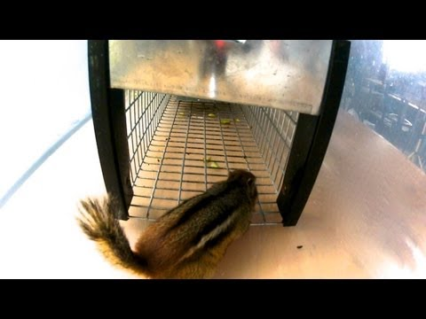 NEW! - Havahart 0745 Chipmunk Trap in Action - Full Review