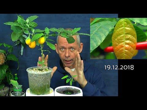 Kakaobaum, Eierbaum und die tanzende Pflanze im Wachstum 19.12.2018