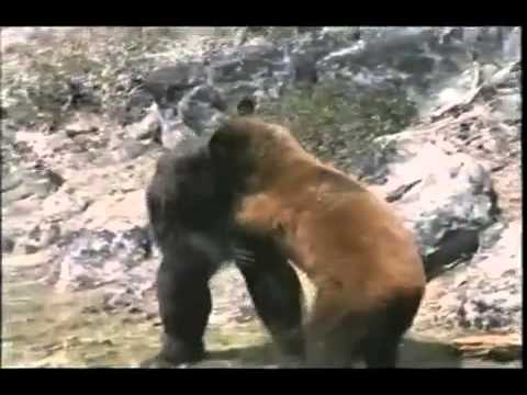 Marijuana Addicted Grizzly Bear vs. Cocaine Obsessed ...