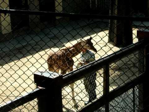 アミメキリンの赤ちゃん by 野毛山動物園