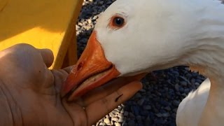 Feeding a Wild Goose with me hands!!!!! So cute! And i caught his BEAK!!!!