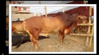 Eid- Ul-Azha 2016  ||  ঈদ-উল-আযহা 2016 || Really Biggest cow Qurbani