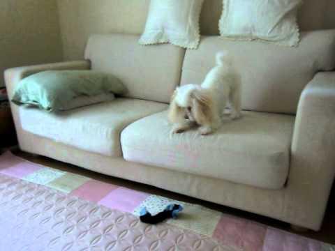 わざとソファーから落とします。 (投稿者 : こはく さん)
