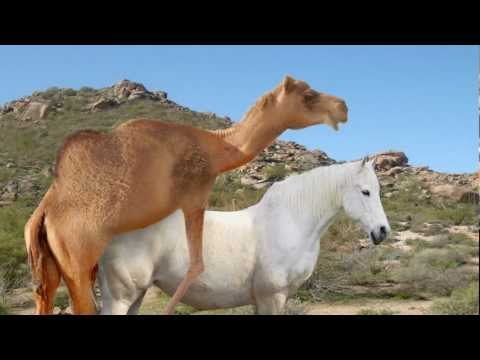 Camel &amp; Horse Fail HD