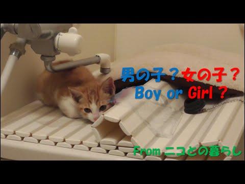 保護1日目-#2 茶白子猫の性別が判明!先住猫ニコの反応は⁉