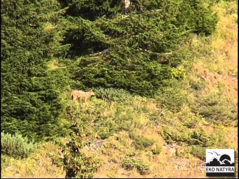 Ujku i Sharrit-Wolf in Sharri mountain