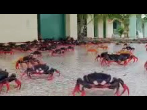 bbc-cuban-red-crab-invasion-wild-caribbean.html