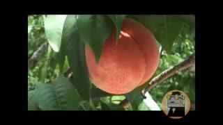 桃狩り体験ツアー ニュース