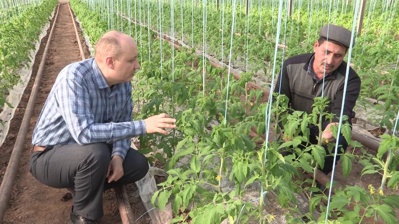 Выращивание томатов особенности 81