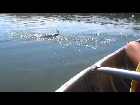 Fishing Walleye and Jack Alberta 2012