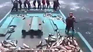 Clip câu cá siêu nhanh, một lúc đã đầy thuyền