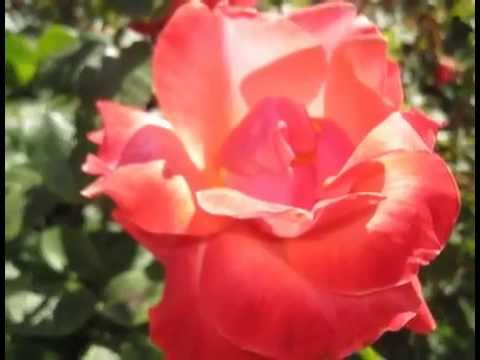 rose garden regents park london 1