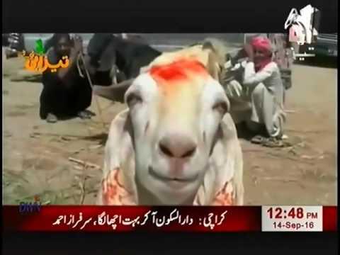 Bulls and Goats Eid Al Adha Tezabi Totay 2016  Geo Tez thumbnail