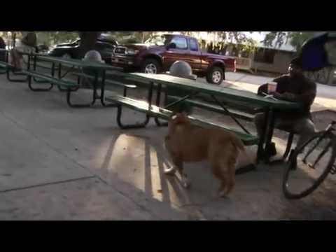 Pit bull for stud, Red Nose Pit bull Video