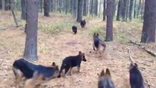 "download lagu ""perfect Recall""  My Pack Of German Shepherds gratis"