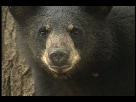 Maine Bears Need Your Help