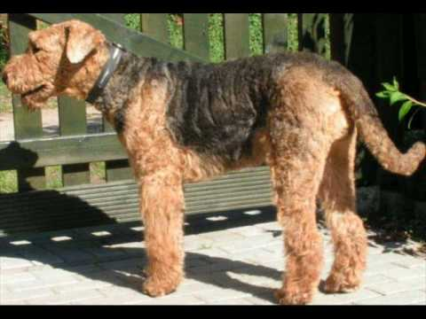 Mix Videos | Airedale Terrier Mix Video Codes | Airedale Terrier Mix
