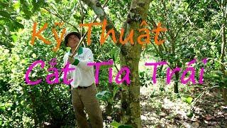 Pruning Jackfruit | Kỹ Thuật Cắt Tỉa Trái Mít Thái Siêu Sớm | MTPL