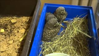Домовой сыч:) Кормление птенцов / Little Owl