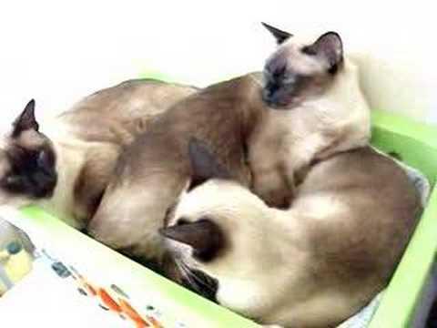 Gatas siamesas durmiendo la siesta