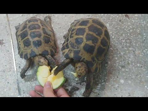 먹이를보고 맹렬하게 뒤쫓는 육지거북이의 속도감