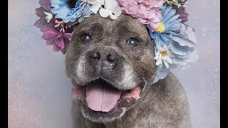 LIVE: Adoptable Pit Bull Rumple Loves To Give Kisses | The Dodo