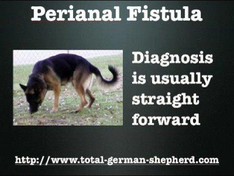 fistulas Proptic and canine anal