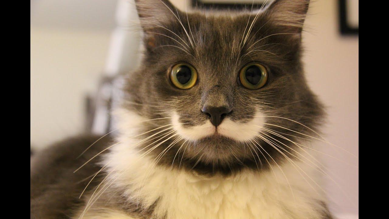 Hamilton The Hipster Cat Kitten