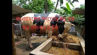 The biggest cow in Bangladesh - রাজা বাবু যার ওজন ১.৫ টন, বাংলাদেশের সবচেয়ে বড় গরু। Dhaka Gorur Haat