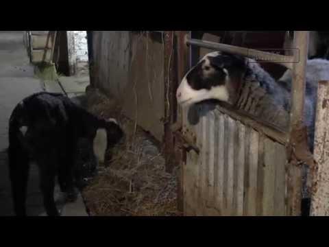 Фермер овцы