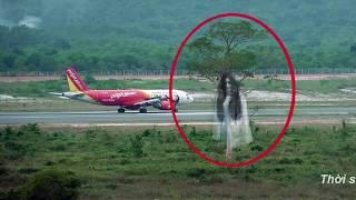 Cây Maa ở sân bay Phú Quốc không cách nào chặt bỏ được