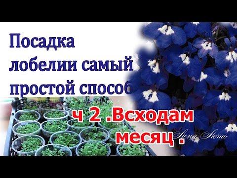 Самый простой способ выращивания лобелии . Всходы . ч 2 .
