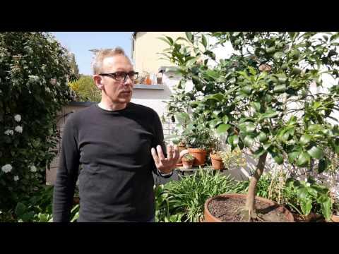 Einen Kumquat pflegen - Tipps und Tricks für leckere Kumquats
