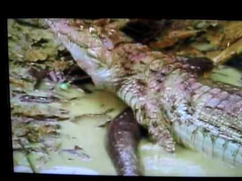 Eel Electric vs Crocodile Electric Eel vs Cayman Croc