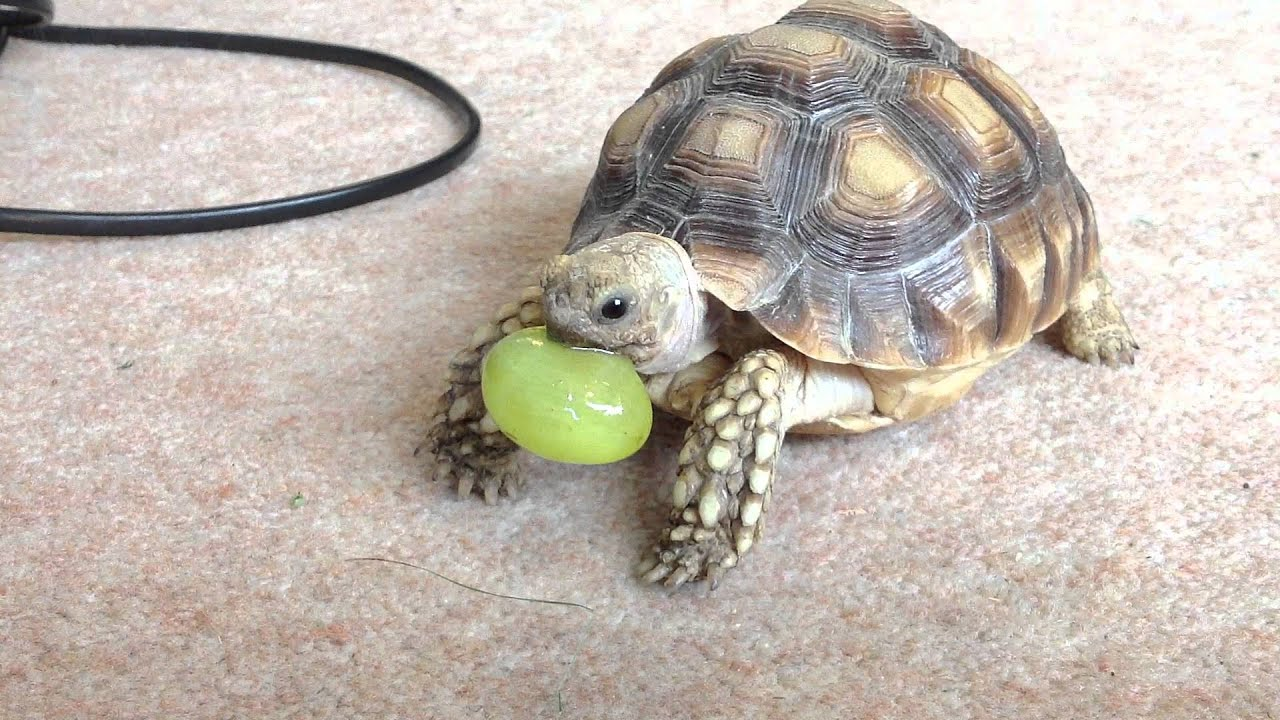 Sulcata tortoise eating a grape - YouTube