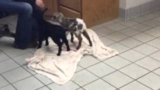 Baby fainting goats just born