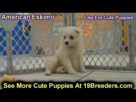American Eskimo, Puppies, For, Sale, In, Weirton, West Virginia, WV, Kanawha, Monongalia, Cabell, Wo