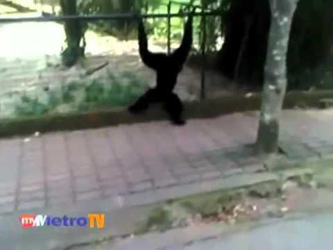 Kanak-kanak cedera diserang siamang di Zoo Melaka -.MP4