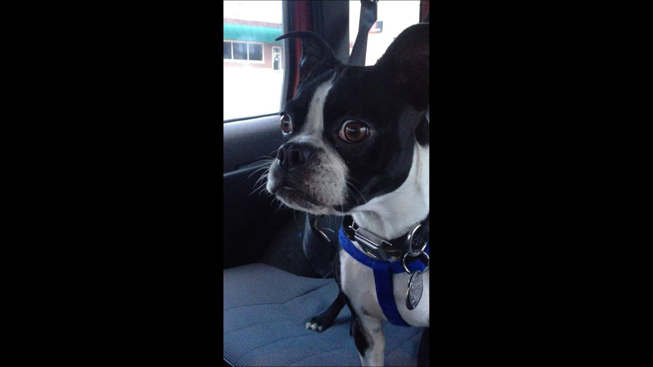 Boston terrier imperso...