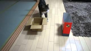 Thumb El gato Maru eligiendo entre 4 cajas